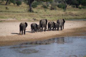 el parque nacional del Tarangire grupo de elefantes