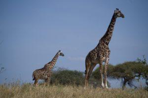 el parque nacional del Tarangire jirafas
