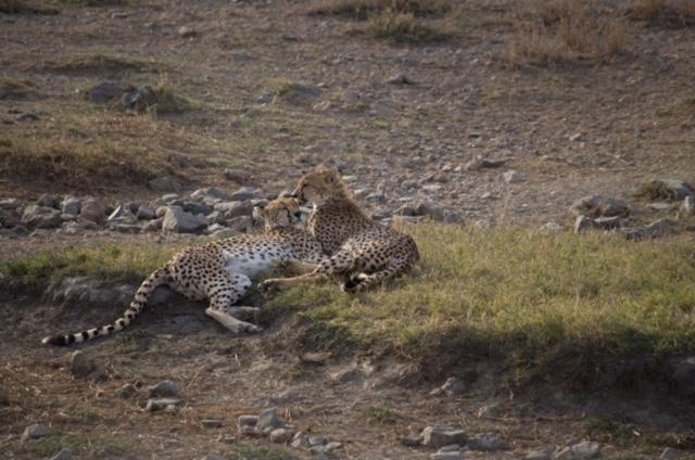 Leopardos en Parque Nacionarl del Serengeti