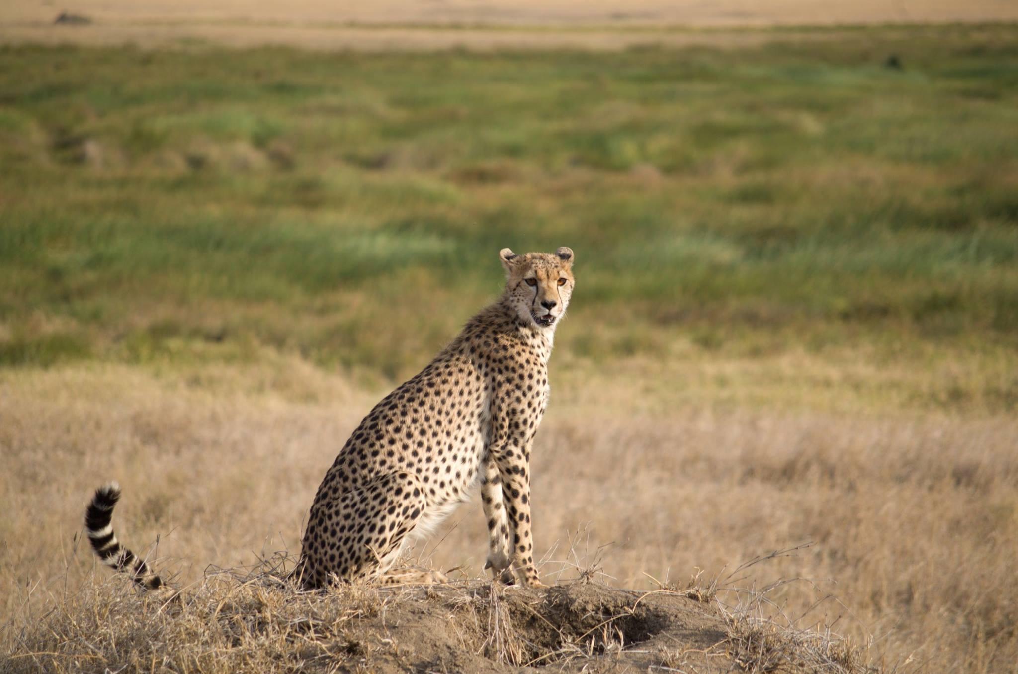 leopardo en Parque nacional del Serengeti