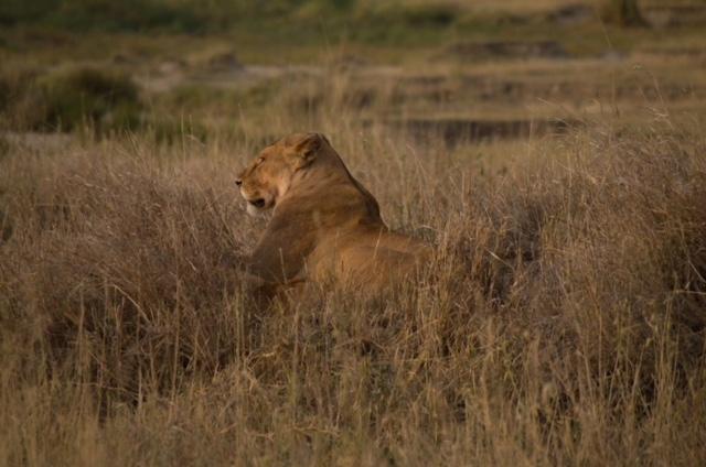 leona en Parque nacional del Serengeti