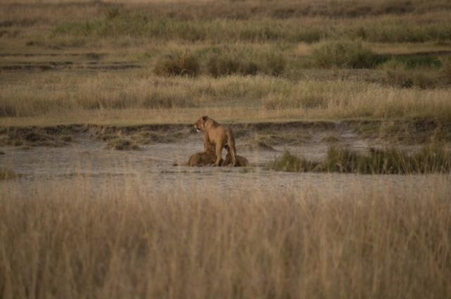 Leona amamantando a cachorros en Parque Nacional del Serengeti