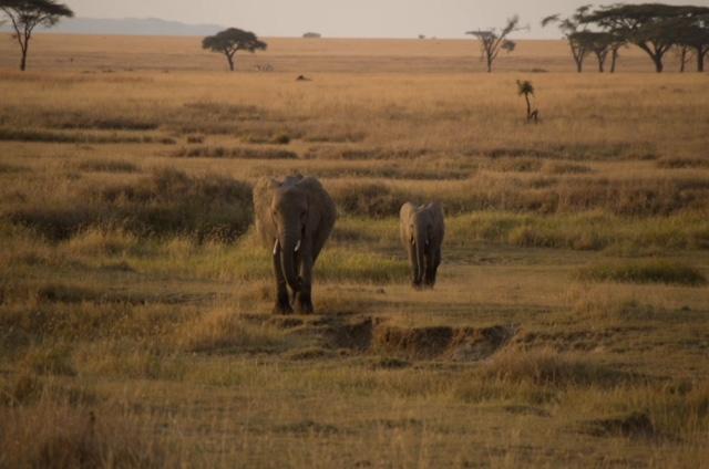 Elefantes al atardecer en Parque nacional del Serengeti