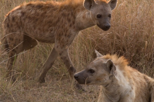 Hienas en Parque nacional del Serengeti