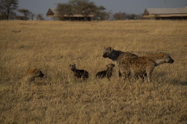 familia de hienas enfrente de nuestra tienda en Parque del Serengeti