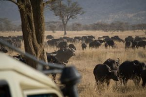manada de búfalos en Parque Nacional del Serengeti