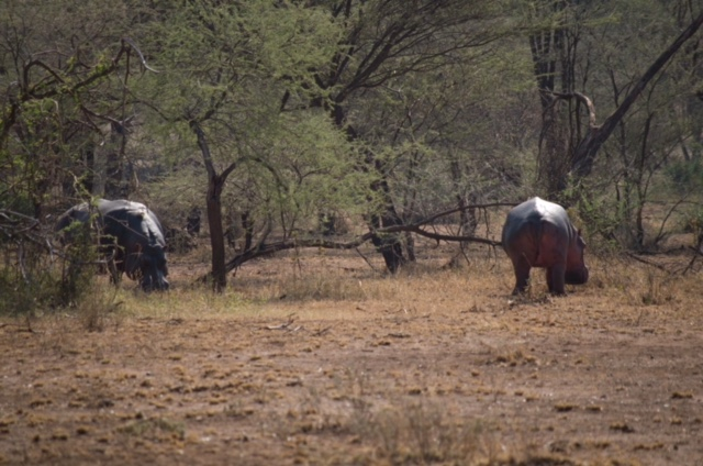 Hipopótamos comiendo en Parque Nacional del Serengeti