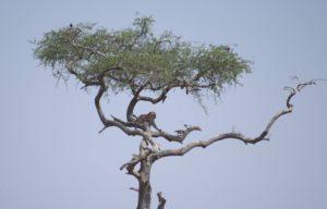Guepardo en un árbol en parque del Serengeti