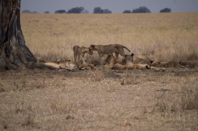 Manada de leonas a la sombre en parque del Serengeti