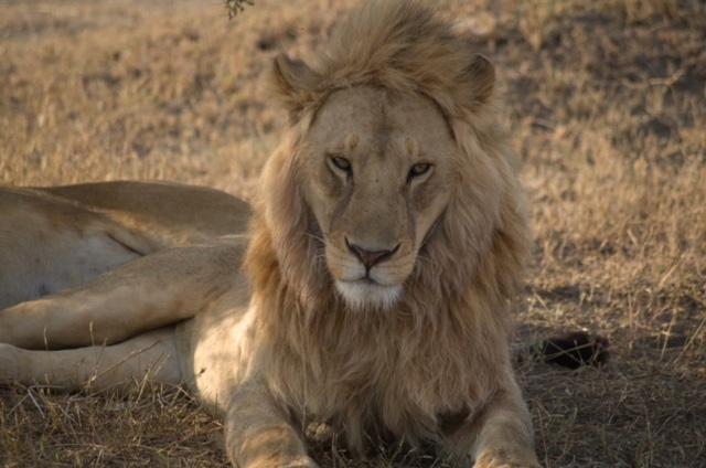 león en parque del Serengeti