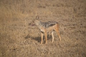 zorro en Parque del Serengeti