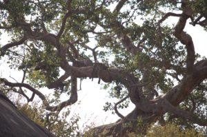 Guepardo echando la siesta en Parque del Serengeti