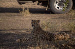 leopardos a la sombra en Serengeti