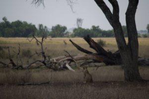 Cacería de leonas en Parque del Serengeti