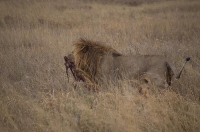 León comiendo en Serengeti