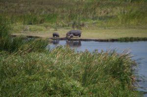 Cráter del Ngorongoro bebé hipopótamo