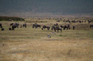 animales en el cráter del Ngorongoro