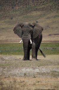 elefante en Cráter del Ngorongoro