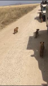 Cachorros por el camino de Serengeti