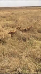 Leoncitos en Serengeti