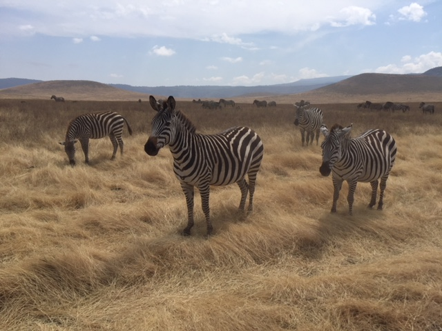Cebras Parque del Serengeti