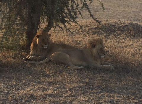 Leones en Serengeti Tanzania
