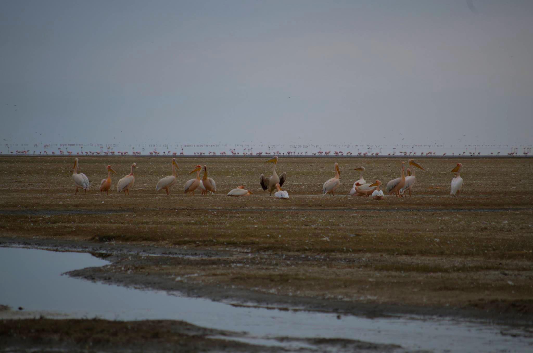 Pelícanos en Lago Manyara