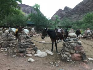 Mules on phantom Ranch